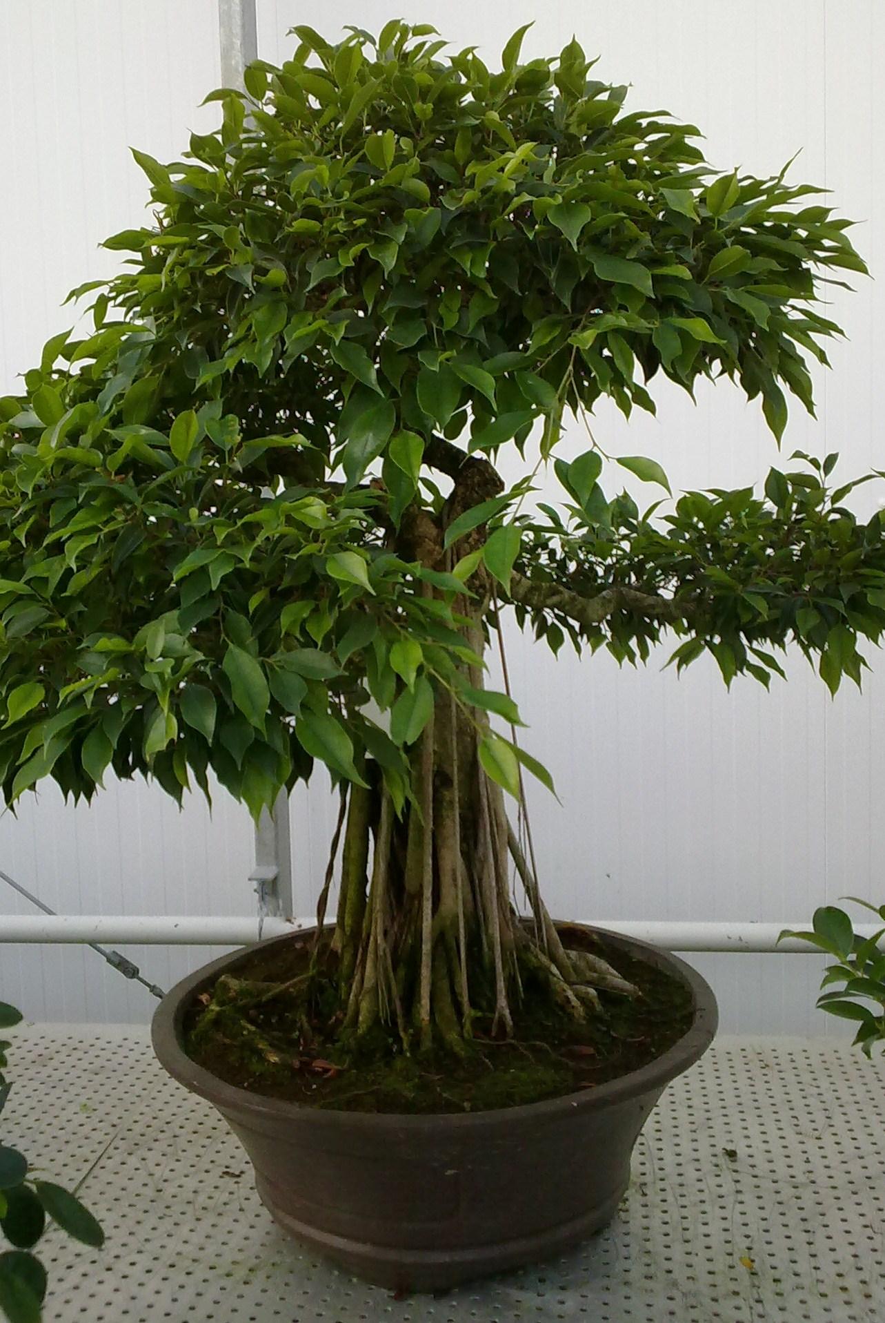 bonsaiboom