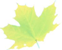 acerblad-groen