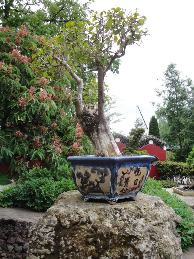 bonsai-garden-ficus