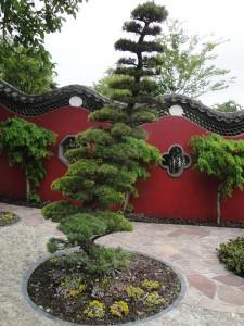bonsai tuin pijnboom