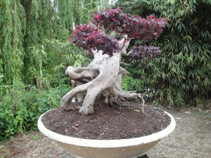 bonsai tuin prunus oude boom