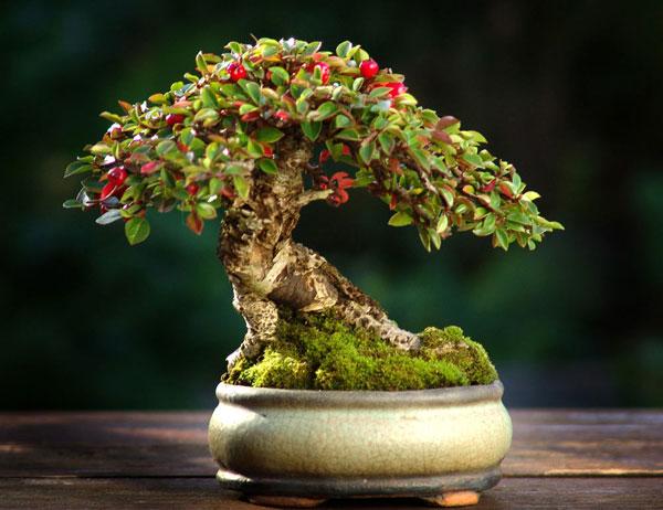 bonsai-cotoneaster