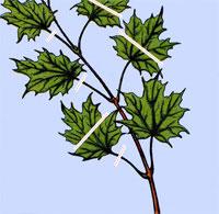 esdoorn-bladsnoei