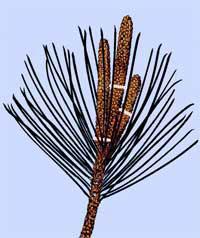 pinus-parviflora-snoei